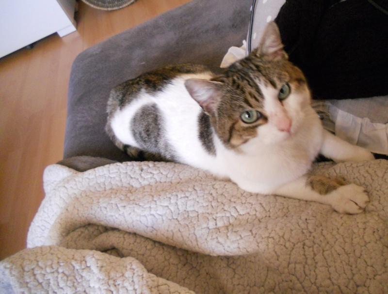 Milo tigré et blanc, adorable pot de colle à Niort Dscn4812