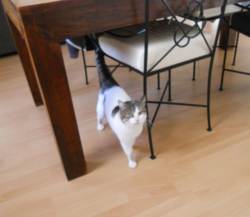 Milo tigré et blanc, adorable pot de colle à Niort Dscn4813