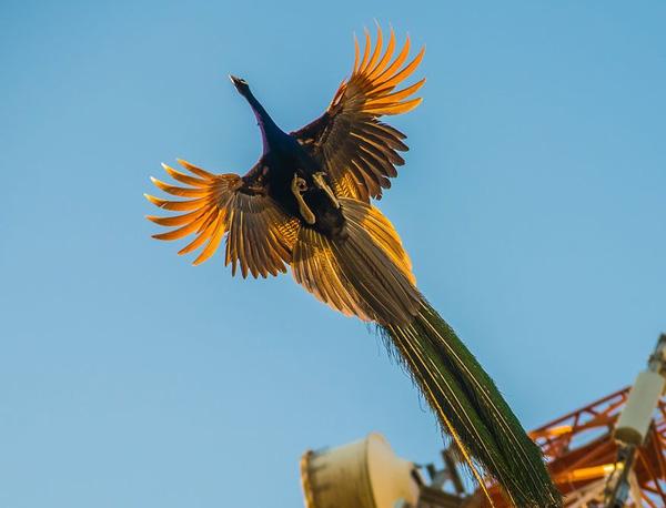 Khoảnh khắc chim công sải cánh bay C1-14510