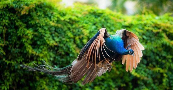 Khoảnh khắc chim công sải cánh bay C2-14510