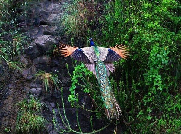 Khoảnh khắc chim công sải cánh bay C3-14510