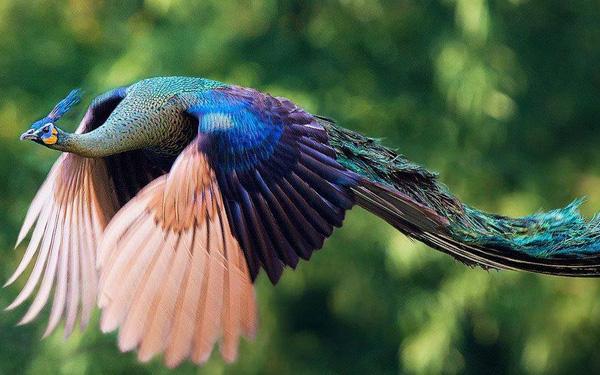 Khoảnh khắc chim công sải cánh bay C6-14510