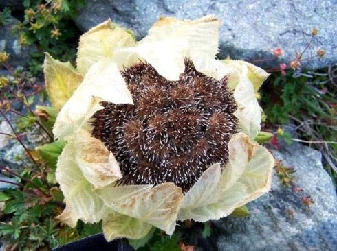 Hoa sen tuyết hiếm thấy tại Himalaya  Hoasen11