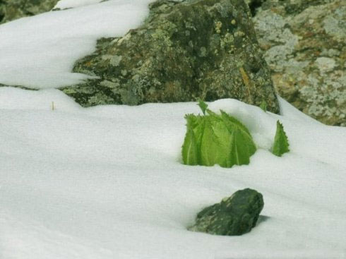 Hoa sen tuyết hiếm thấy tại Himalaya  Hoasen16