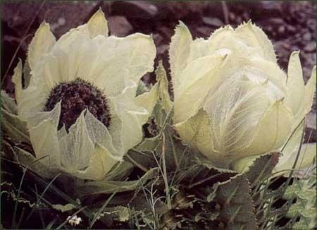Hoa sen tuyết hiếm thấy tại Himalaya  Hoasen17