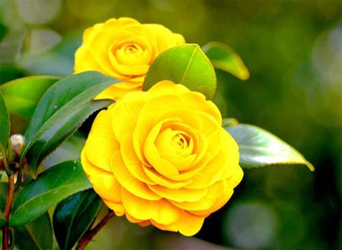 Sự tích hoa Trà Mi Sunsil11