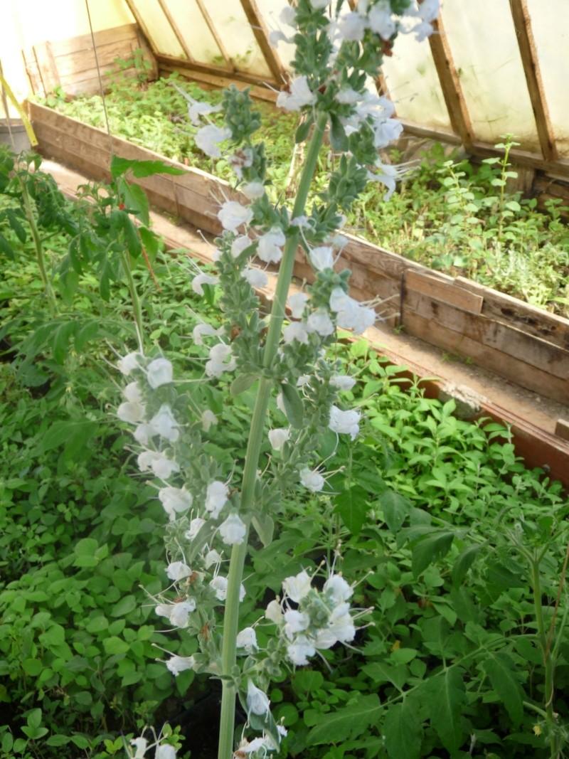 Salvia apiana - sauge blanche S_apia10