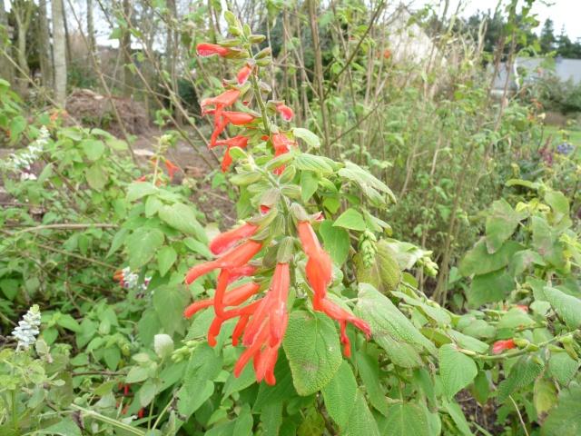 Salvia gesneriiflora S_gesn10