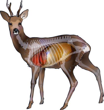 Anatomie du gibier ! Bpgroe10
