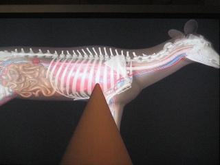 Anatomie du gibier ! Thai_016