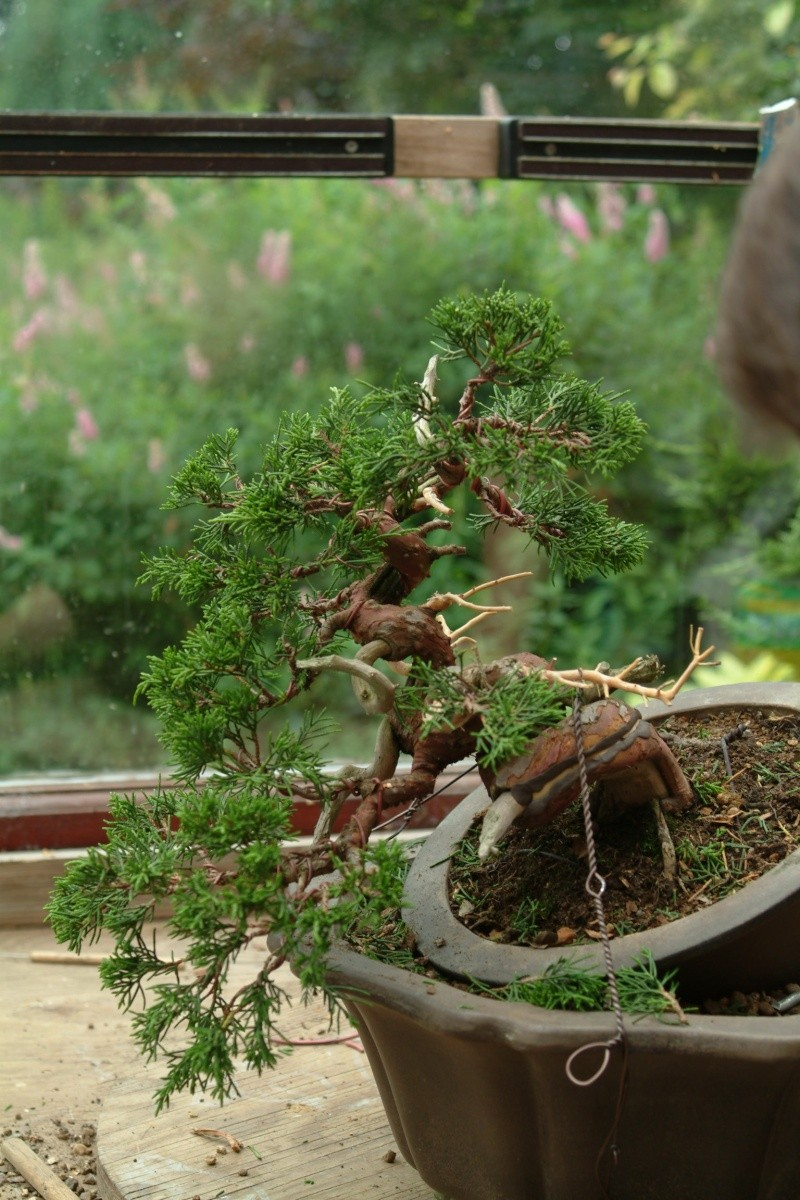 "The ""Corkscrew Juniper"" Challenge: 10_ref10"