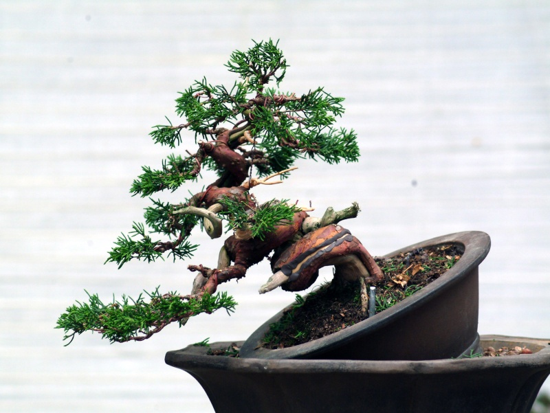 "The ""Corkscrew Juniper"" Challenge: 11_aft11"