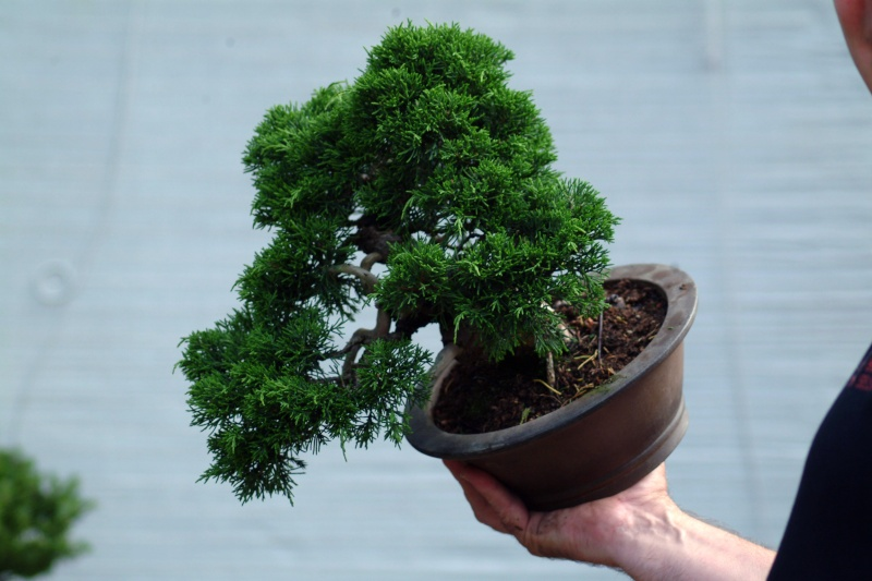 "The ""Corkscrew Juniper"" Challenge: 3a_ang10"