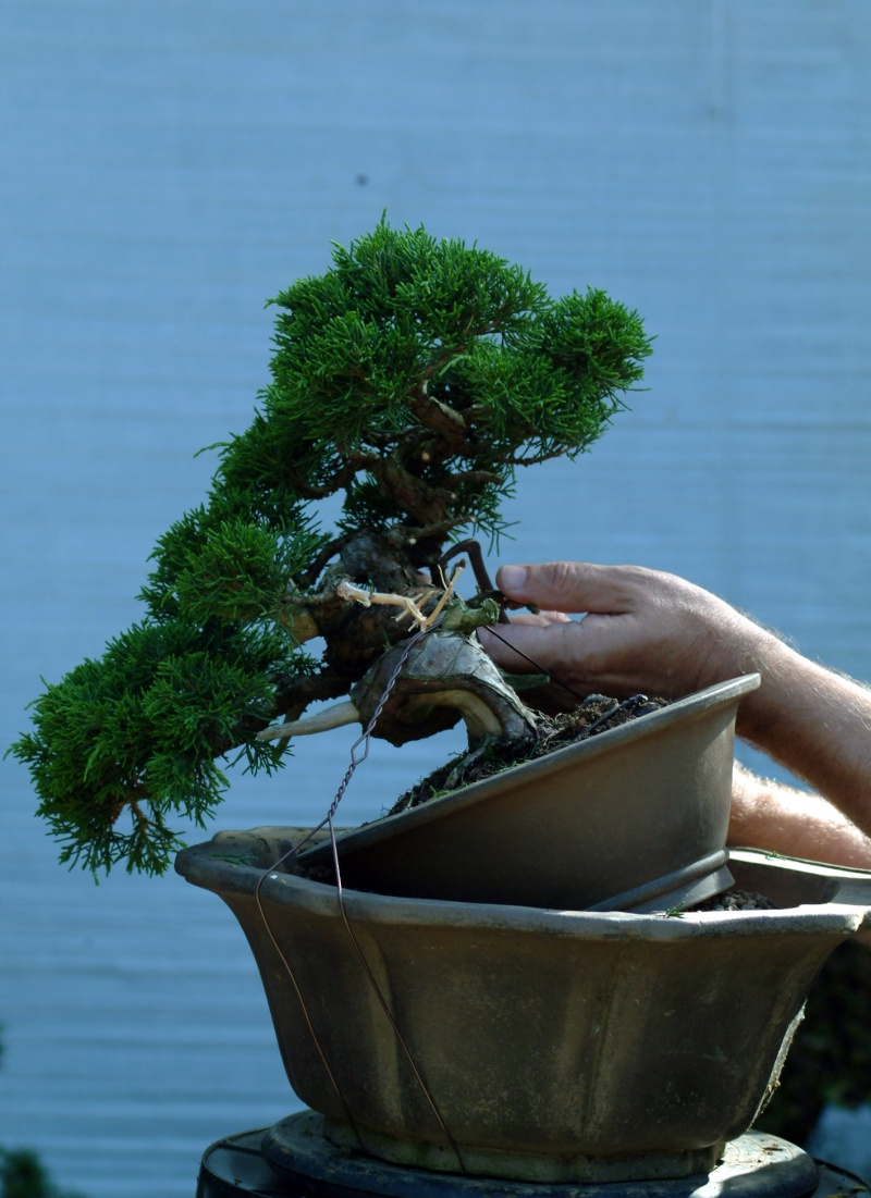 "The ""Corkscrew Juniper"" Challenge: 4a_fir10"