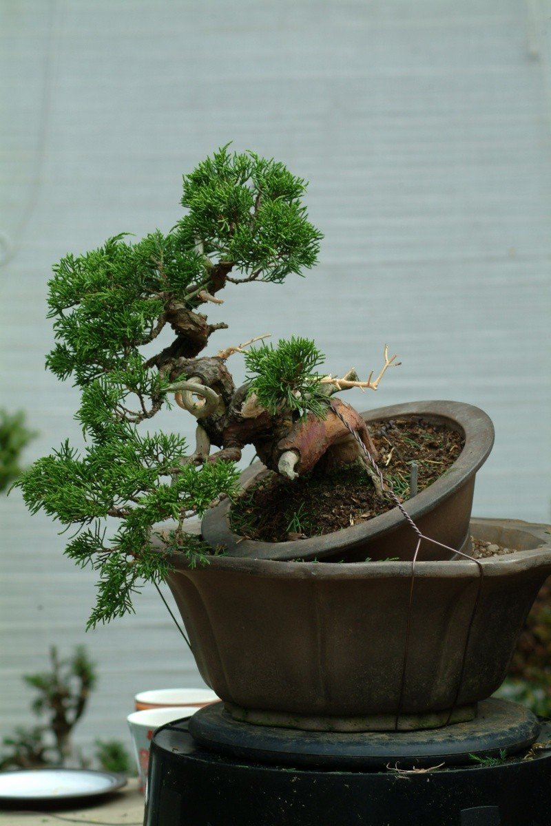"The ""Corkscrew Juniper"" Challenge: 8_befo10"