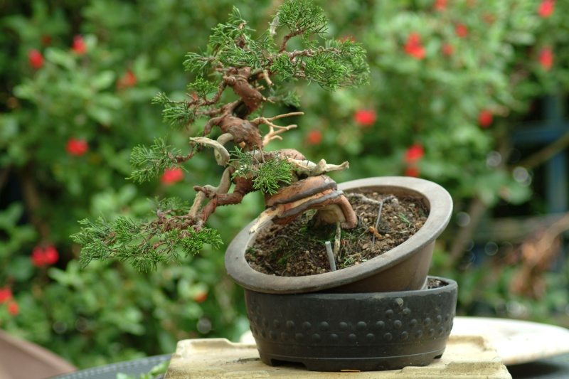 "The ""Corkscrew Juniper"" Challenge: Now10"