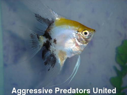 APU's Official November POTM Voting Thread (General Fish) 111_st10