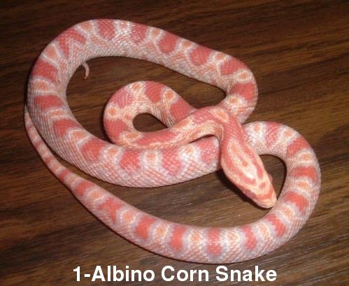 Albino Corn Snake or Carpet Python??? Albino12