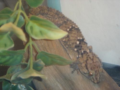 My Bibron Gecko Bib_210