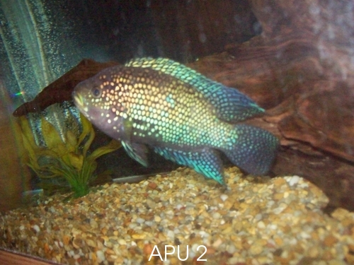 APU's Official March POTM Voting Thread (General Fish) Cichli10
