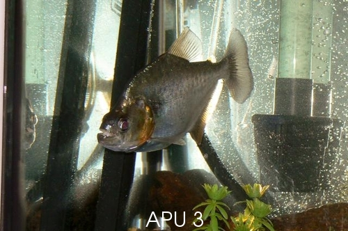 APU's Official March POTM Voting Thread (General Fish) Diogen10