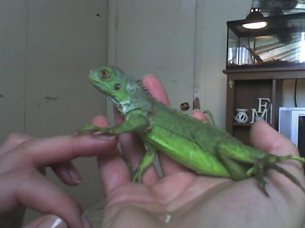 Pics Of My Iguana's Family20