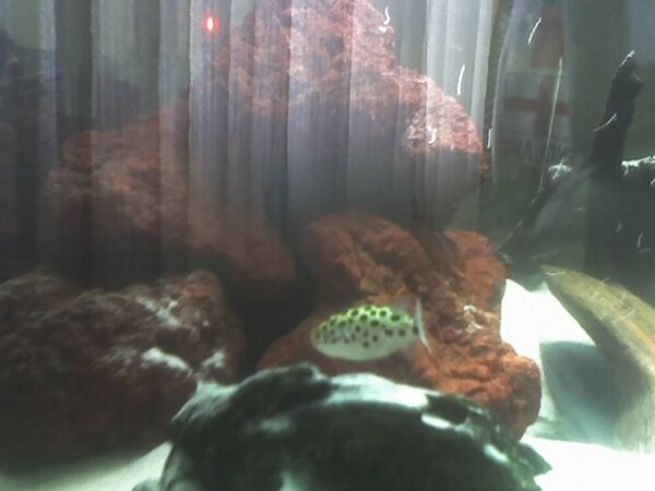 My Spotted Puffer(Brackish) Family28