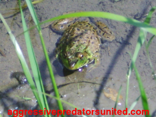 Pics of a juvie BullFrog in the pond behind my house Frogs_11