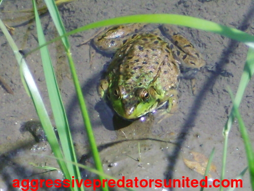 Pics of a juvie BullFrog in the pond behind my house Frogs_12