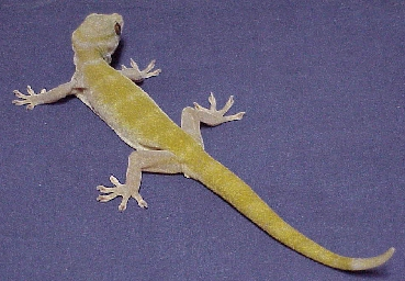 My Bibron Gecko Golden10