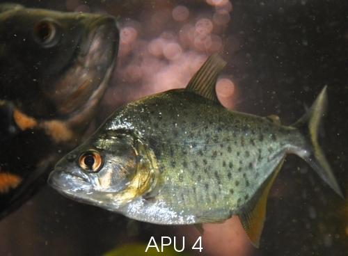 APU's Official March POTM Voting Thread (General Fish) Jp809110