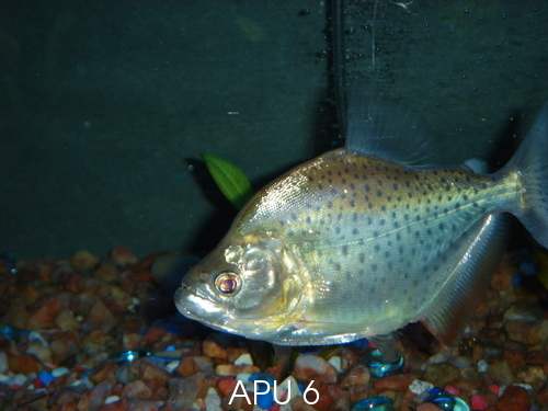APU's Official March POTM Voting Thread (General Fish) Metal_10