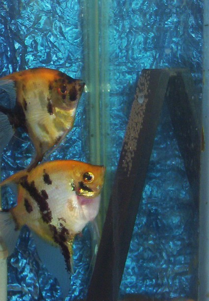 Breeding Angel Fish Spawni10