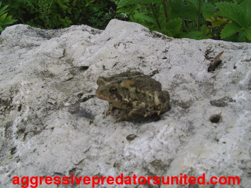 This Toad Just Won't Stop Stairin At Me...lol Toad_010