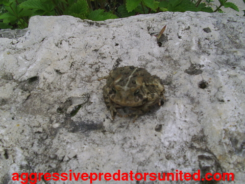 This Toad Just Won't Stop Stairin At Me...lol Toad_011