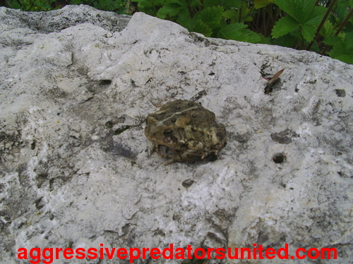 This Toad Just Won't Stop Stairin At Me...lol Toad_012