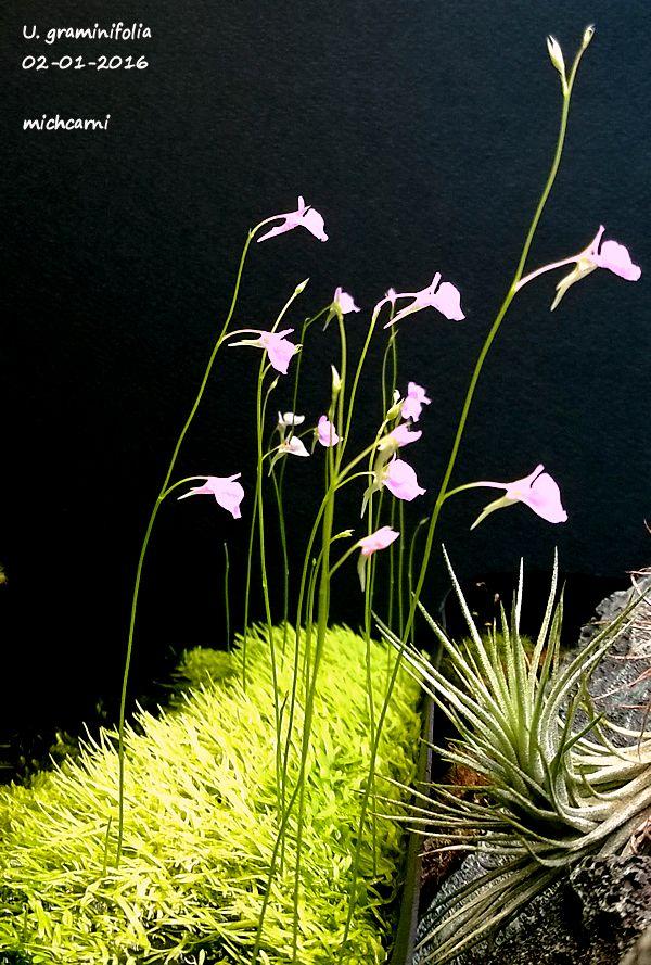 Utriculaire graminifolia U_gram10
