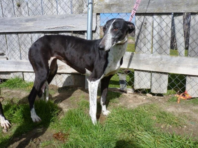 Alina douce galga noire et blanche, 10 ans Scooby France Adoptée P1250114
