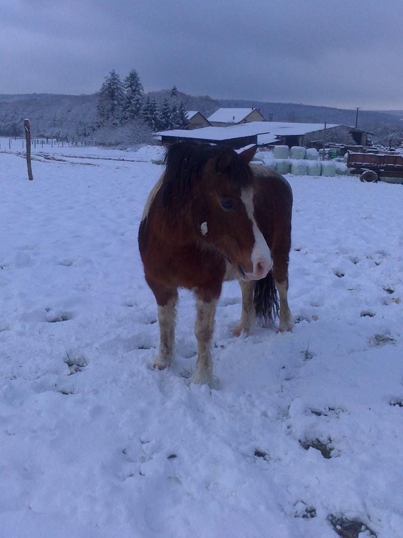 DUCc - ONC poney typé Shetland né en 1991 - adopté en mars 2015 par Joseph Duc_510