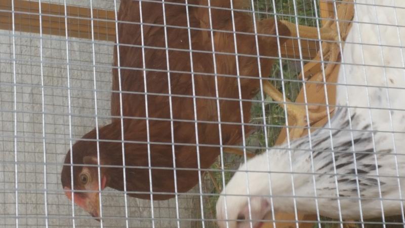 c'est bien des petites poules?? nouvelles photos !! 20160312