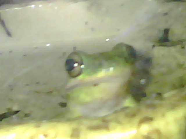 My Green Tree Frogs 08260710
