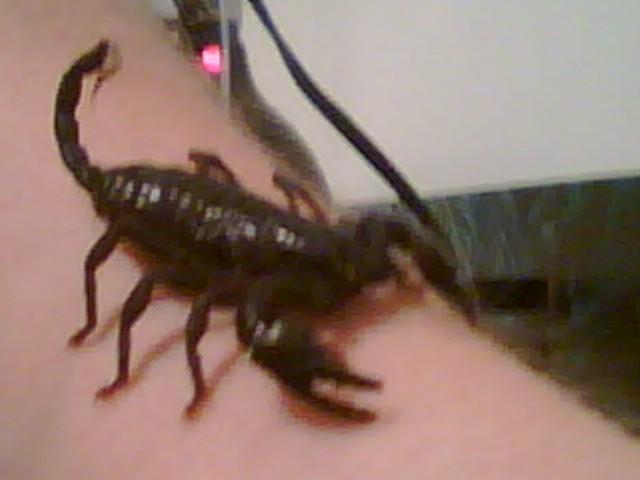 My Emperor Scorpion 09070710