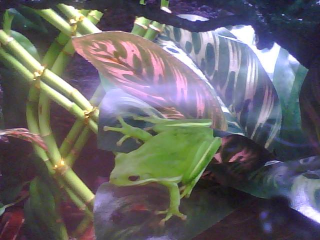 My Green Tree Frogs Genghi10