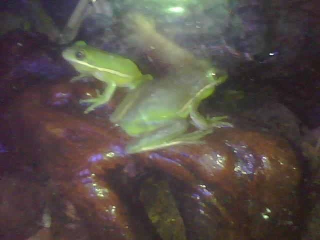 My Green Tree Frogs My_boy10