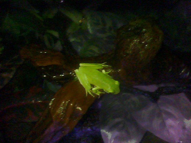 My Green Tree Frogs Rasput11