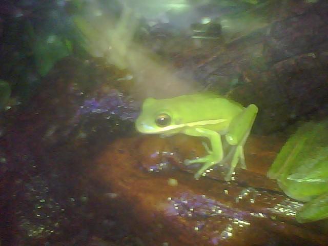 My Green Tree Frogs Rasput12