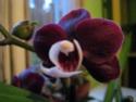 phalaenopsis hybride dalmatien Phal_010
