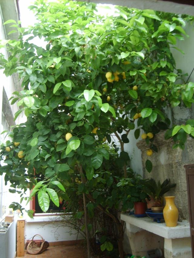 question sur les citronniers Photo_94