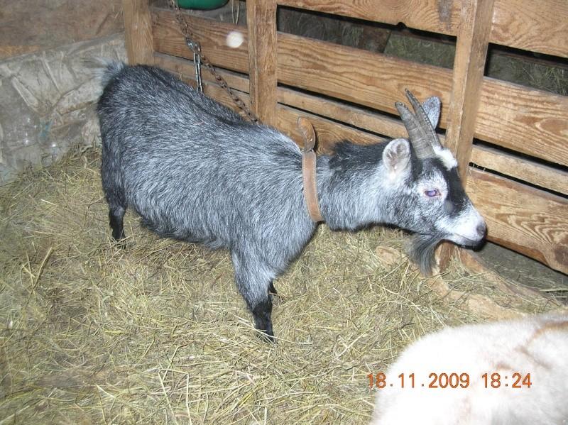3 petites chèvres à vendre pas cher près de Québec Annima11
