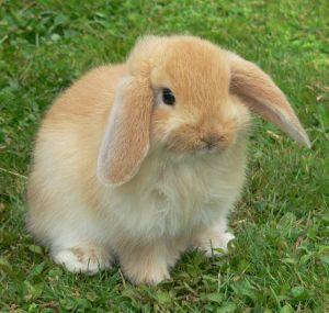 Fiche sur les lapins Lapin10